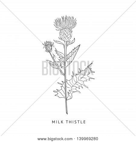 Milk Thistle Medical Herb Hand Drawn Realistic Detailed Sketch In Beautiful Classic Herbarium Style On White Background