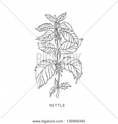 Nettle Medical Herb Hand Drawn Realistic Detailed Sketch In Beautiful Classic Herbarium Style On White Background