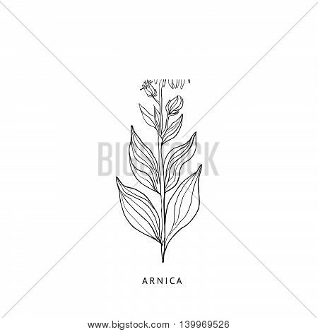 Arnica Medical Herb Hand Drawn Realistic Detailed Sketch In Beautiful Classic Herbarium Style On White Background