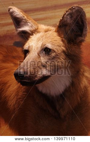 Maned wolf portrait animals wild objects taxidermy.