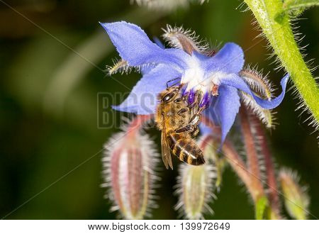 Bee Pollinating Blue Purple Starflower Borago Officinalis