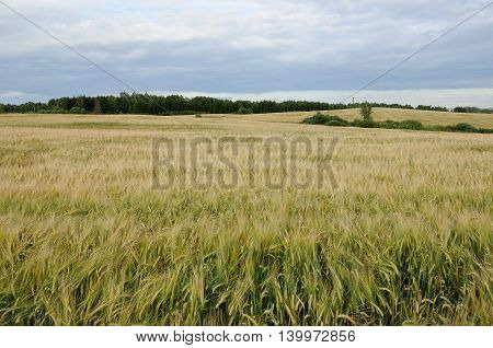 agricultural field with the ripening grain. rye