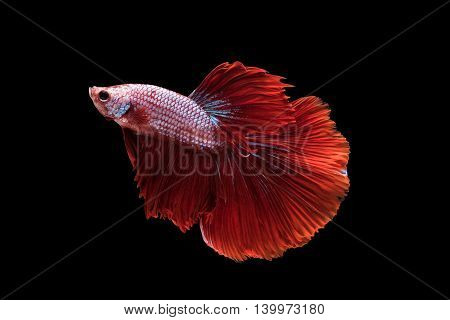 Red Halfmoon Betta splendens or siamese fighting fish isolated on black background included clipping path Plakat Thailand