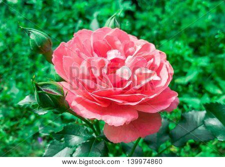 Beautiful Flower Pink Rose