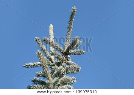 Fir Tree Top On Blue Sky