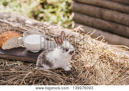 cute small fluffy rabbit or hare near baked loaf of wheat bread and cut slice on wooden board on straw or hay background with glass cup of milk