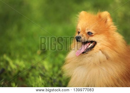 Cute fluffy dog on green grass
