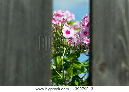 Pink flowers seen through a hole in the fence. The background is focus. Foreground in blurred.
