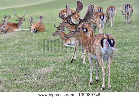 Fallow - fallow deer. (Dama dama ) Beautiful natural background with animals. Forest and sunset. Brno - Czech Republic - Europe. Animal - nature
