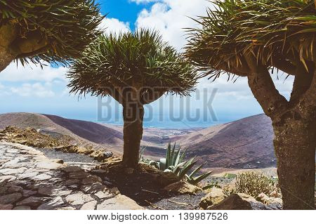 Dragon trees (Dracaena) in the mountains of the Canary Islands Spain