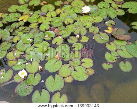 Several beautiful water plants in a public garden