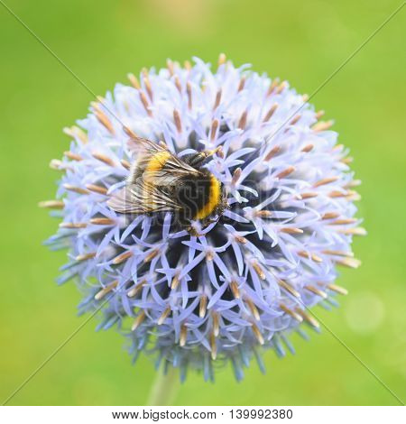 Bumblebee pollinating Echinops bannaticus commonly known as blue globe-thistle