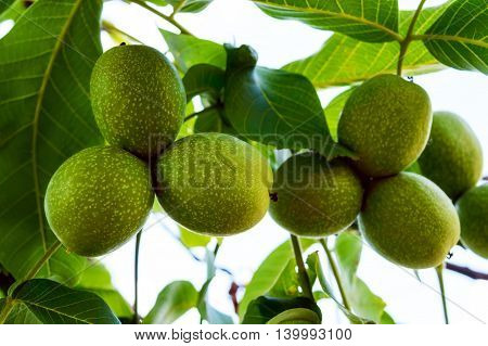 Unripe fruits of walnut growing on branches