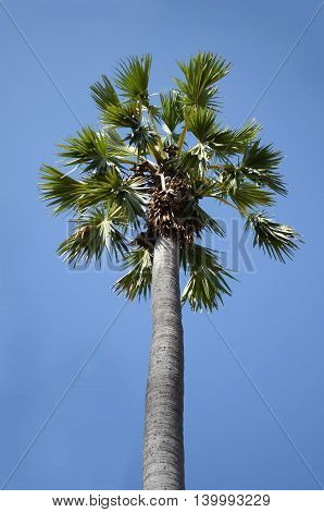 palm Toddy palm Sugar palm or Cambodian palm tropical tree in the northeast of Thailand