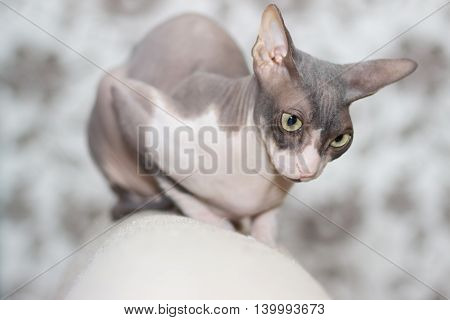 Cat breed sphinx sits on the back of the sofa