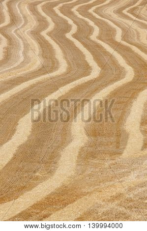 Wheat spikes in the countryside. Agriculture background landscape. Vertical