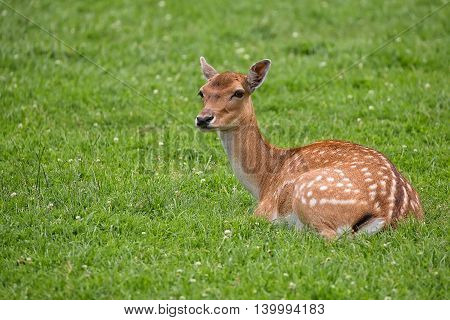 Fallow deer resting in a clearing in the wild
