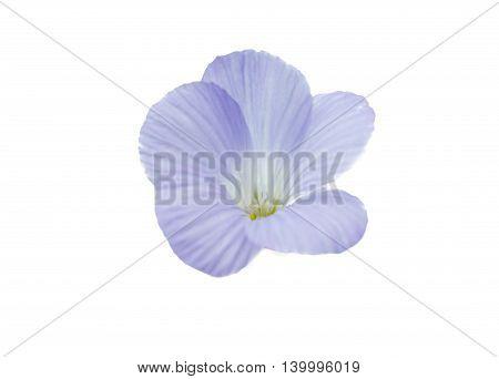 Beautiful blue flowers isolated on white background