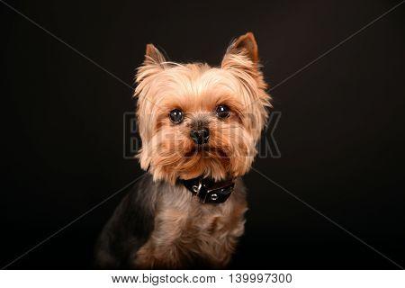 Portrait of Yorkshire Terrier against black background