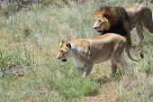 Постер, плакат: Pride Of Lions Africa