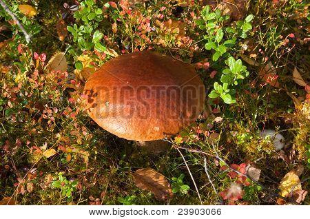 Edible mushroom (Leccinum)