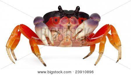 Red land crab, Gecarcinus quadratus, in front of white background