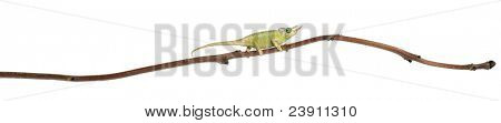 Mt. Meru Jackson's Chameleon, Chamaeleo jacksonii merumontanus, partially shedding and perched on branch in front of white background
