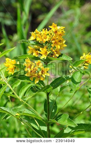 Yellow Loosestrife (lysimachia Vulgaris)