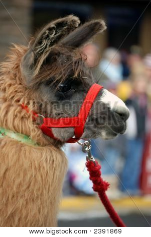Llama With Red Halter