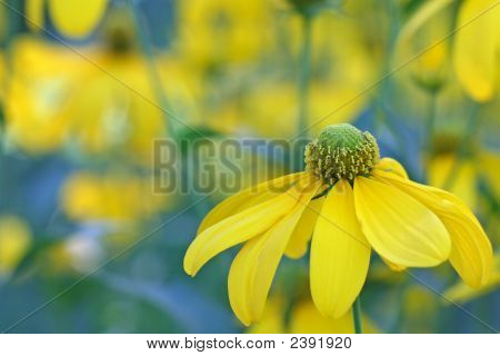 Autumn Sun Coneflower