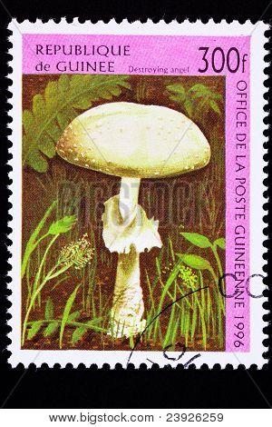 Guinea Postage Stamp Destroying Angel Mushroom Amanita Virosa, Ocreata, Verna,