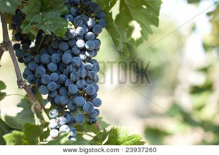 Merlot Grapes On Grapevine
