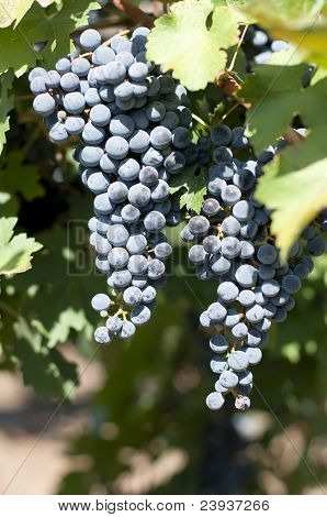 Merlot Grapes On Grapevine