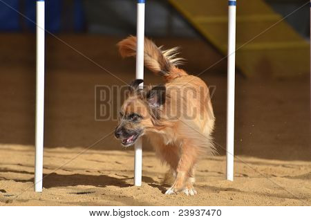 Pyrenean Shepherd At A Dog Agility Trial