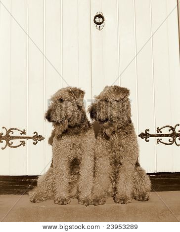 Identical Old-fashioned Airedales