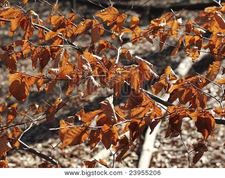 Dry Leaves Of A Beech In Early Spring