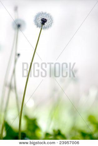 white dandelion (taraxacum)