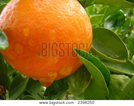 Rain Drops On An Orange