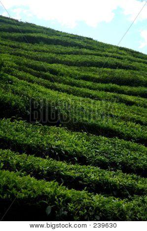 Tea Plantation 3