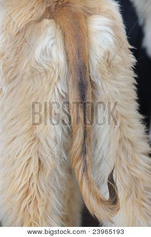 Cauda de cão