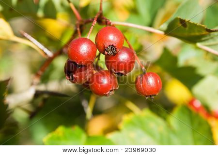 Ripe Hawthorn (crataegus) Berries