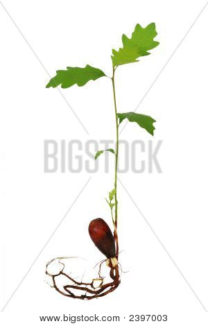 Oak Tree Seedling With Roots