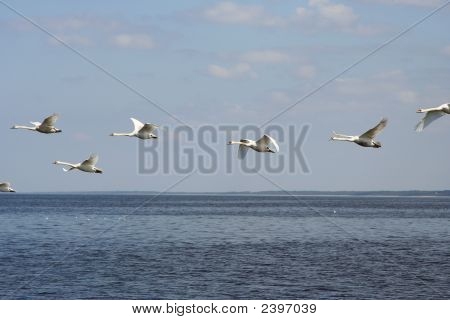 Cisnes voando