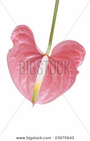 Flamingo Flower Anthurium