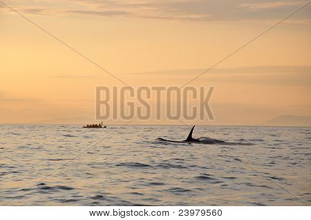 killer whale and boat at sunset off Victoria, Canada