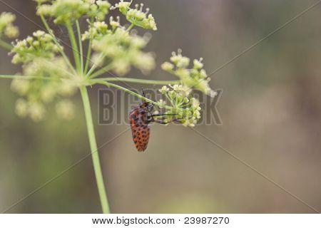 Graphosoma lineatum