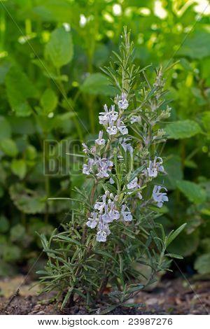 Blooming Rosemary (lat. Rosmarinus officinalis)