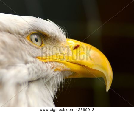 American Bald Eagle Close-Up
