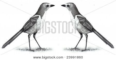 Pencil Drawing of Two Scrub Jays Face To Face