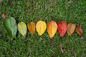 Autumn Leaf Transition And Variation Concept For Fall And Change Of Season. They Are In One Line poster